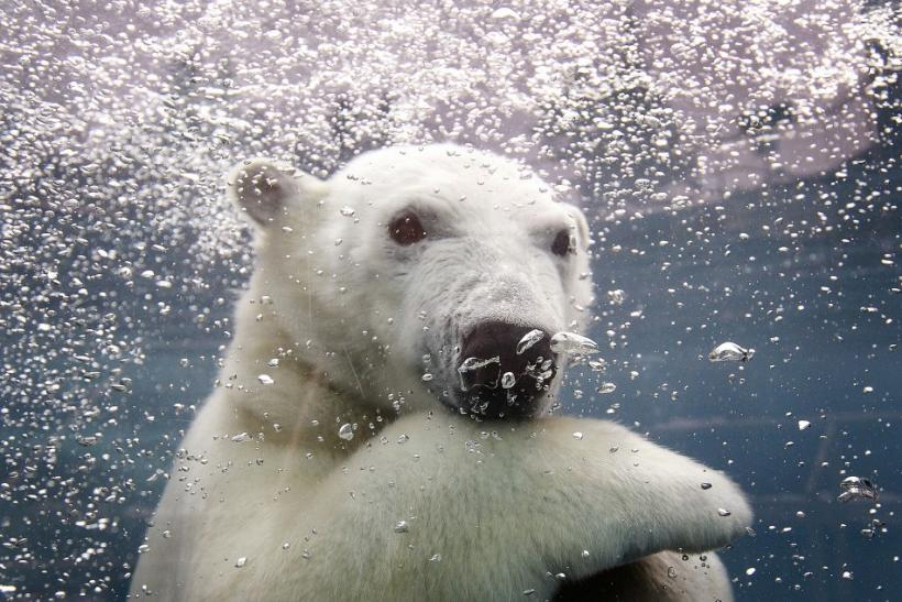 Ganuk, the polar bear cub, swims under water at the St-Felicien Wildlife Zoo in St-Felicien, Quebec November 30, 2010.