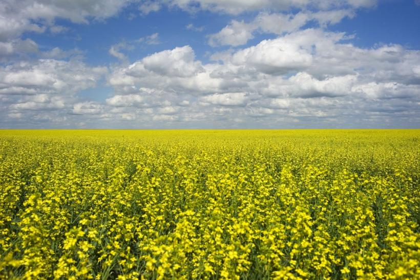 A canola crop used for making cooking oil sits in full bloom near Fort Macleod.