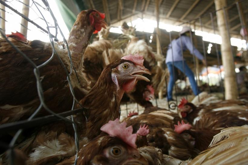 Chickens peer out of their cage at a poultry wholesale market outside Hanoi, Viet Nam.