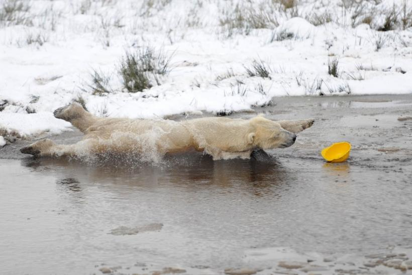 Walker, a 58 stone (368 kg) polar bear, chases a plastic helmet in a pond on his third birthday at the Highland Wildlife Park in Kincraig, Scotland