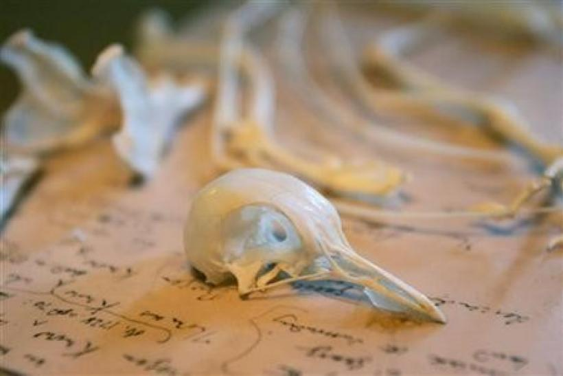 Pigeon bones are displayed in Charles Darwin's former home Down House, Kent, southern England February 12, 2009.