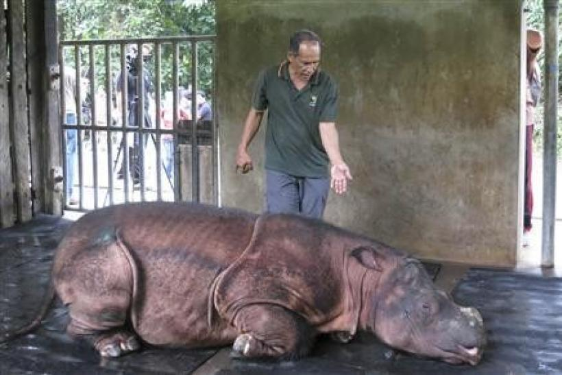 A veterinarian attends to Puntung, a newly captured female Sumatran rhinoceros in Lahad Datu, in Malaysia's state of Sabah on Borneo island in this January 12, 2012 file picture.