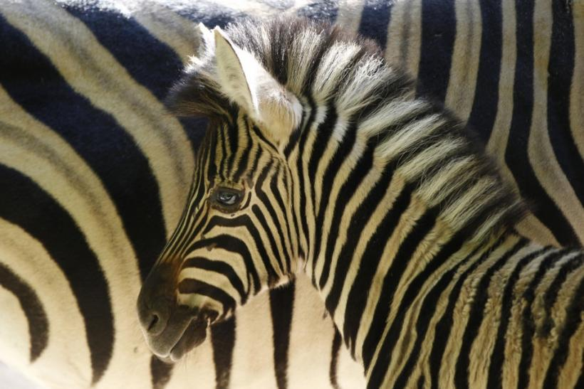 Mystery of the Zebra Stripe Solved