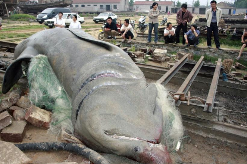 A five-tonne shark is seen after being caught by fishermen on the outskirts of Lianyungang