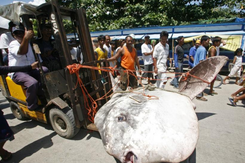 Members of the fisheries bureau transport a dead giant ocean sunfish, scientifically known as a rare tetraodontiformes, at a fish port near Zamboanga City, southern Philippines