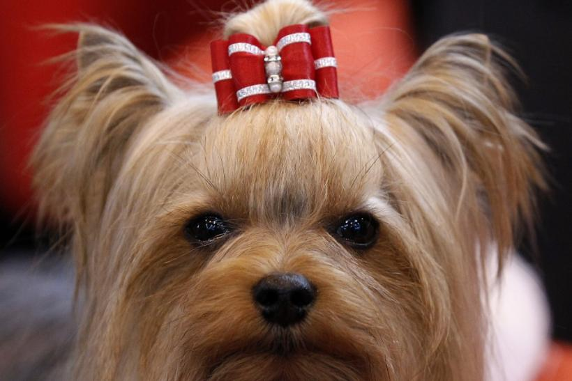 A Yorkshire Terrier waits for judging at the Crufts dog show in Birmingham