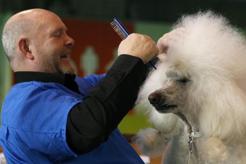 An owner grooms his Standard Poodle on the first day of the Crufts dog show in Birmingham