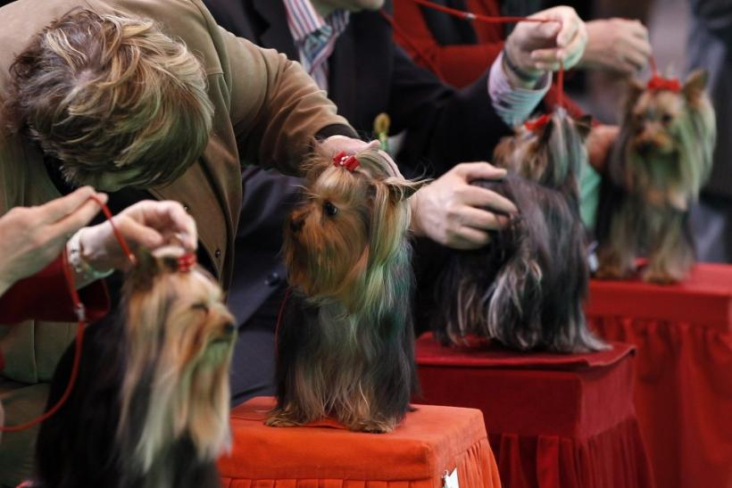 Yorkshire Terriers are judged on the first day of the Crufts dog show in Birmingham