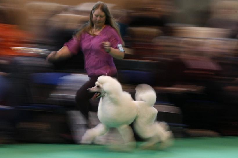 A Standard Poodle is paraded through a judging ring at the Crufts dog show in Birmingham