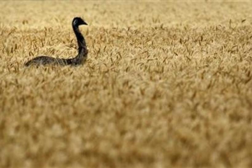 An emu makes its way through a wheat field on a farm near Chinchilla, about 250km (155 miles) west of Brisbane, October 28, 2011.