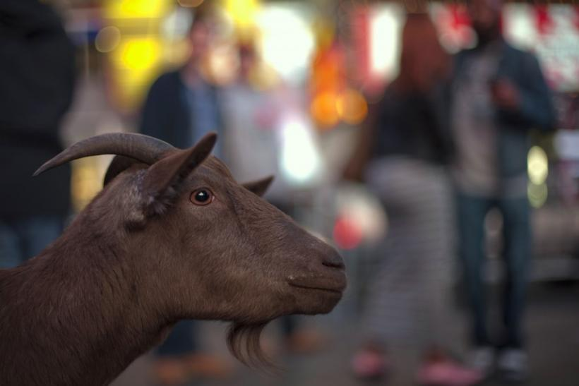 Pet goat Cocoa is seen at an intersection in Manhattan, New York