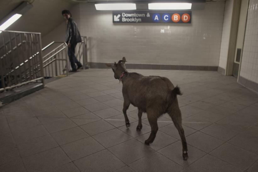 Cyrus Fakroddin's pet goat Cocoa enters the downtown subway station at Columbus Circle in New York