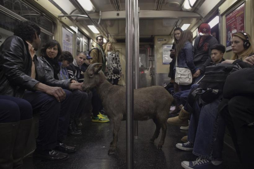 Fakroddin and his pet goat Cocoa ride the downtown C train in New York