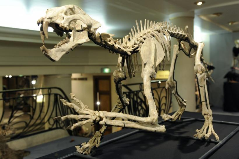 A sabre toothed dinosaur dinosaur