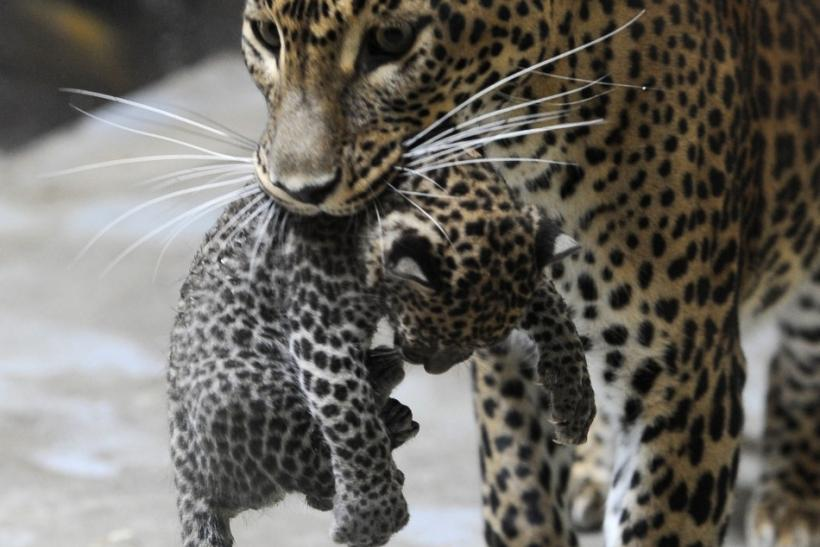Sariska, mother of two newborn Sri Lankan leopard (Panthera pardus kotiya) cubs, picks up one of her cubs during a medical examination by veterinary surgeons at Bratislava Zoo