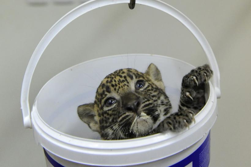 Nayana, a 5-week-old Sri Lankan leopard (Panthera pardus kotiya) cub, looks out of a pail as she is being weighed during a medical examination by veterinary surgeons at Bratislava Zoo