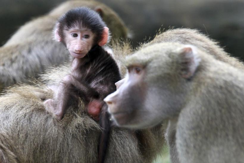 Two adult baboons (Papio hamadryas) play with a baby baboon in the Cali zoo