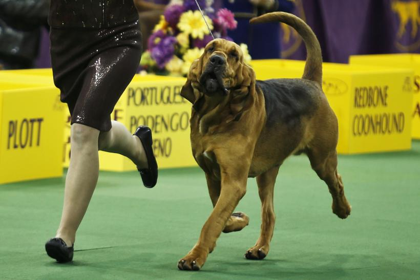 A Bloodhound Named Nathan Westminster Dog...