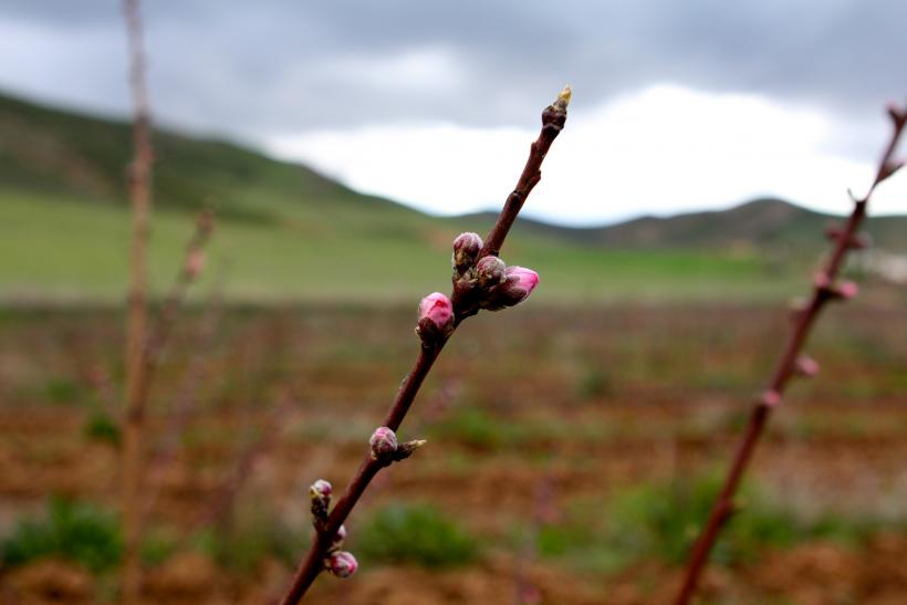 Blossoming Fruit Tree In Ifrane Province, Morocco
