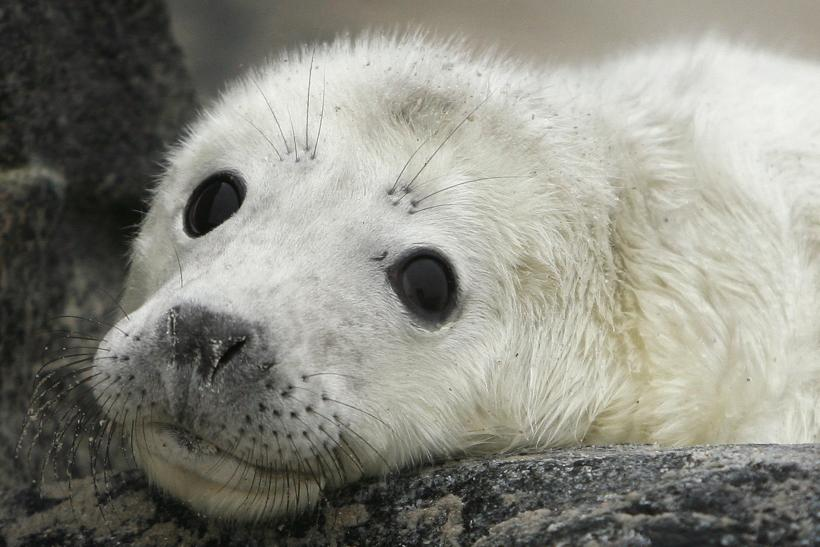 North Sea_Gray Seal Pup