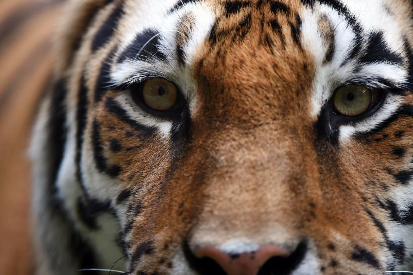 China politicians sanctions over illegal tigers