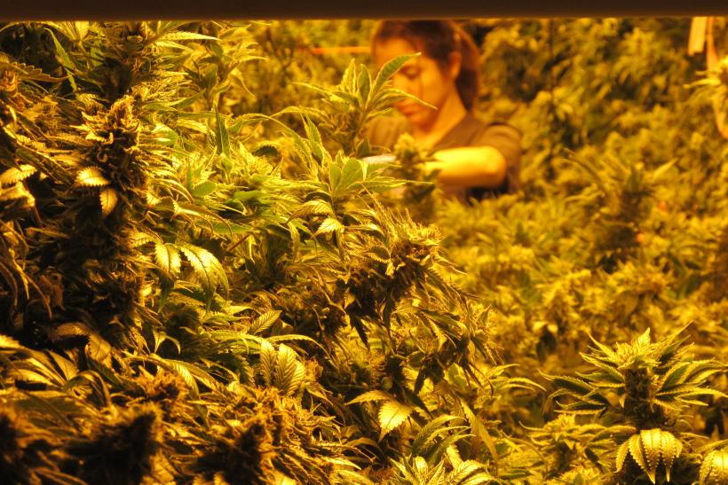Marijuana grower
