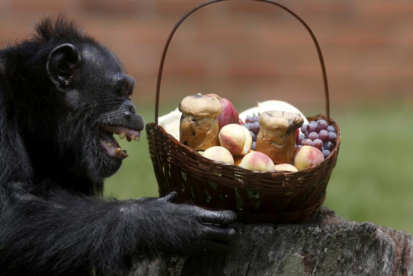 chimps-cooking