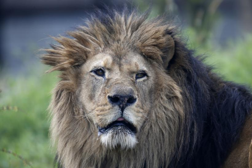 Endangered Species Update Lions Among 23000 At Risk Of Extinction New Report Says