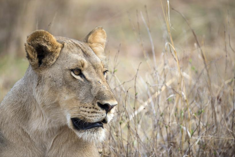 Lioness in Hwange National Park, Zimbabwe