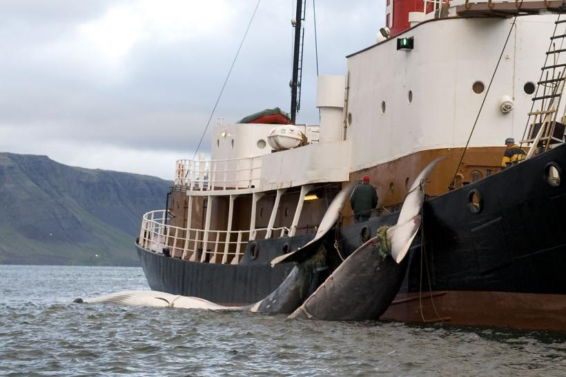 Fin Whales, Iceland Whaling, June 19, 2009