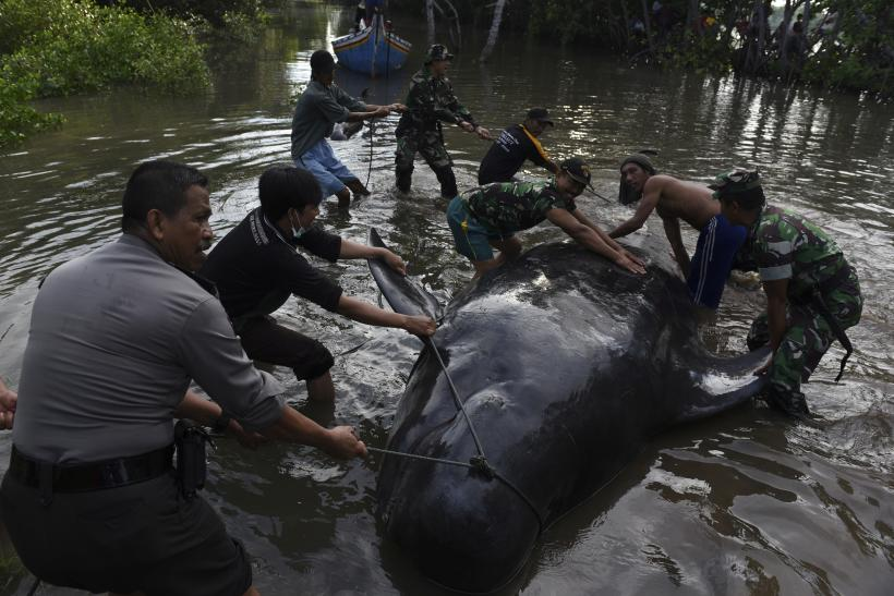 Whales Stranded in Indonesia