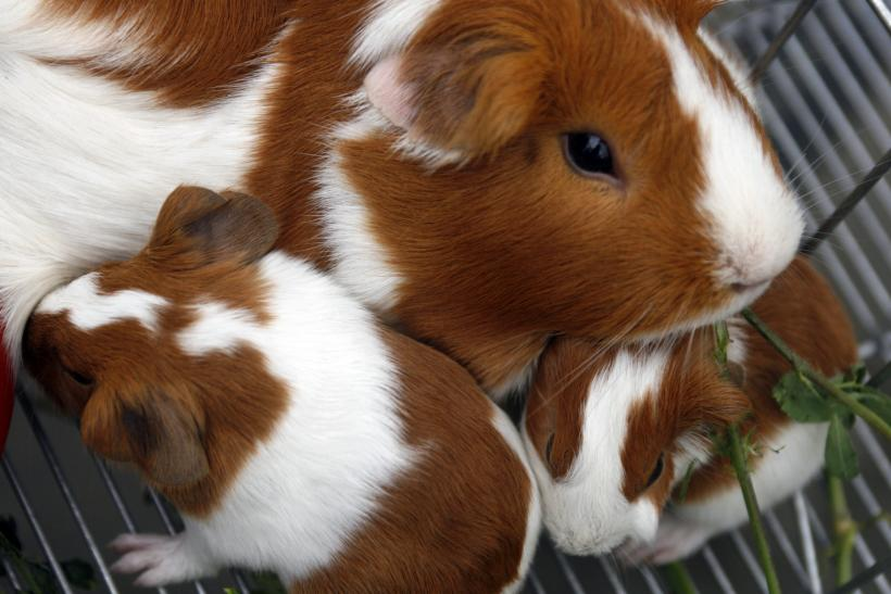 Michigan teens charged for guinea pig death
