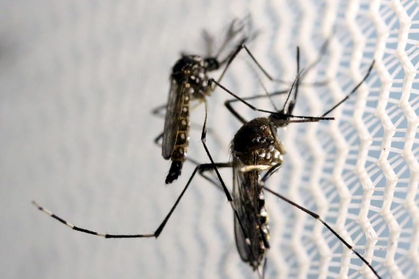 Zika found in Miami mosquitoes