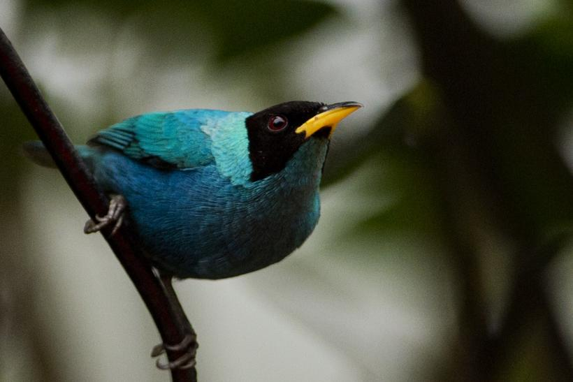 Native Hawaiian birds close to extinction