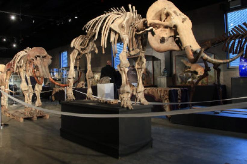 mammoth-skeletons-on-sale-390x285