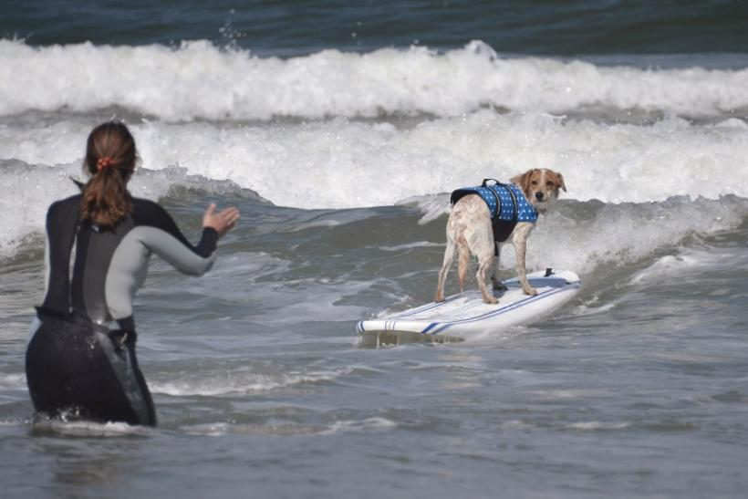 A dog rides a wave backwards towards its owner during the Loews Surf Dog Competition in Imperial Beach