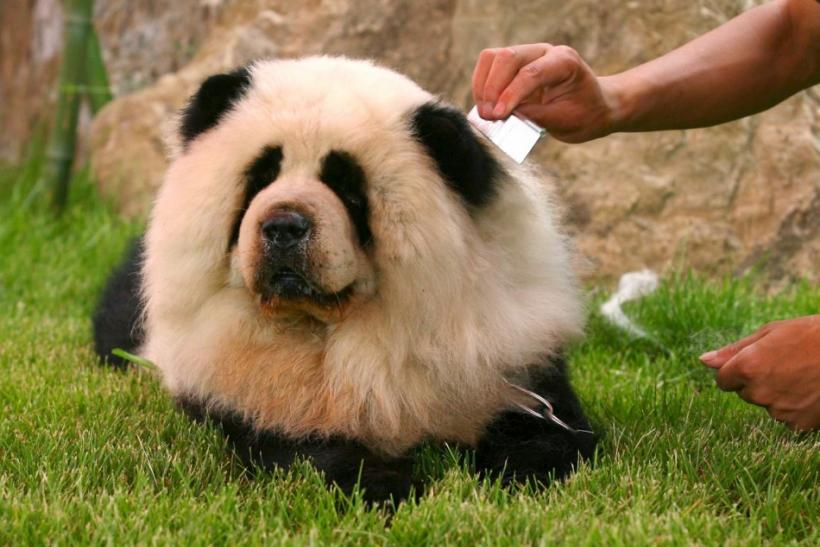 Dogs that look like chows