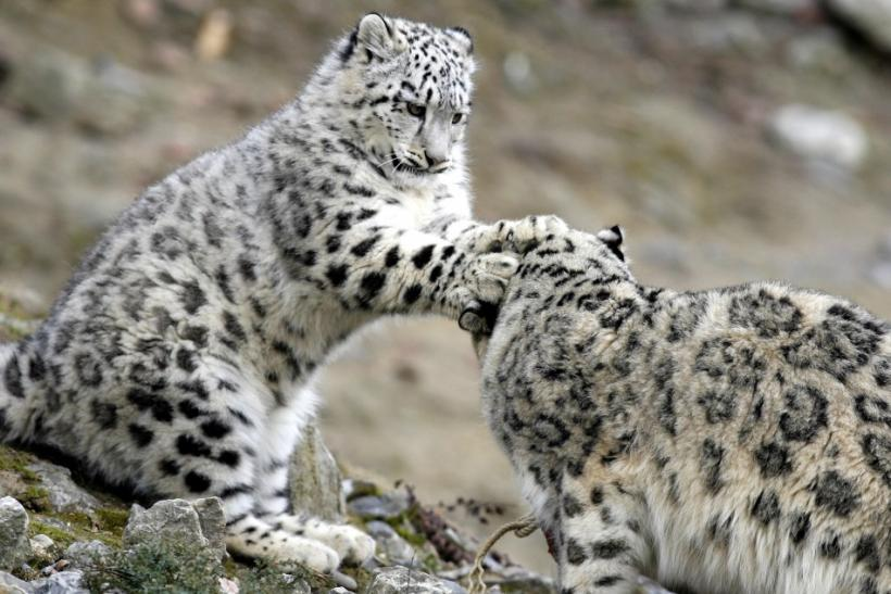 Global Federation International News Network! - Page 6 133156-snow-leopards