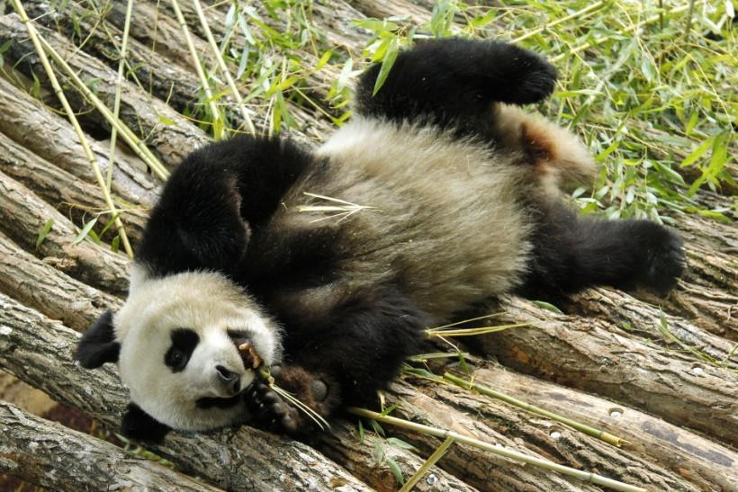 Pandas from China Frolic Around New Home in France