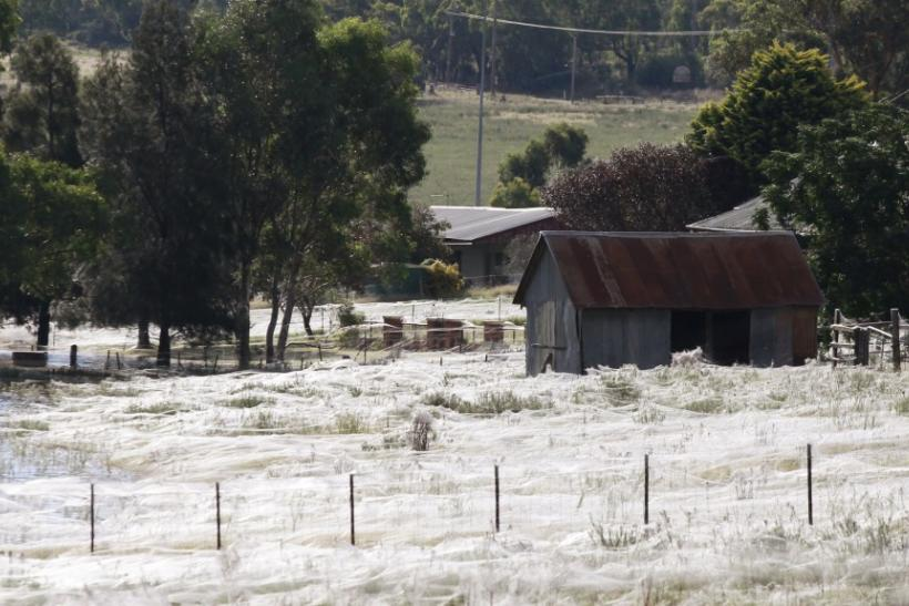 Spiders Spin Webs Across Eastern Australia to Escape Flood Waters
