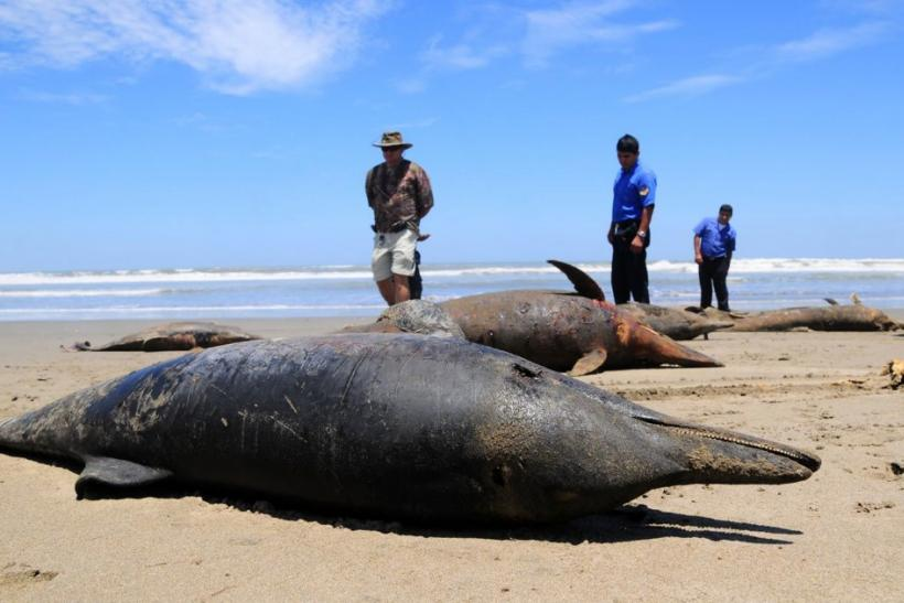 Dolphin carcasses are displayed by conservationists and environmental police officers at San Jose beach, 40kms north of Chiclayo
