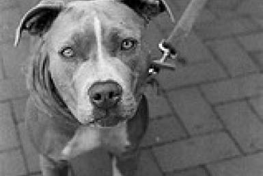 Gangs in London breed dangerous dogs by injecting them with steroids for fights, use them in drug deals and other crimes