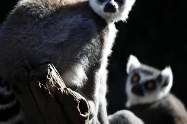 Lemurs are being increasingly hunted and eaten in Madagascar as foreign influences have slowly eroded the culture and taboos that protect the primates.