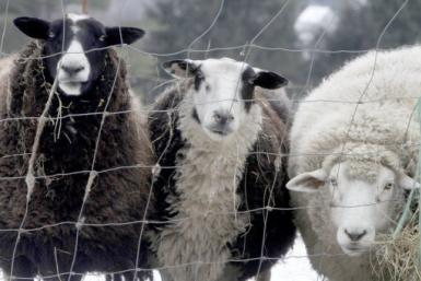 The Schmallenberg virus - named after the German town where it was first detected in November - infected sheep and cows on at least 2,600 farms in eight EU countries between August and October last year. Thought to have been spread for hundreds of miles a