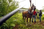 Fred, a Belgian draft horse, waits as line crews attach a fiber optic cable to a utility pole in East Burke