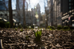 Plants are starting to sprout in Chicago due to the unusually warm weather.