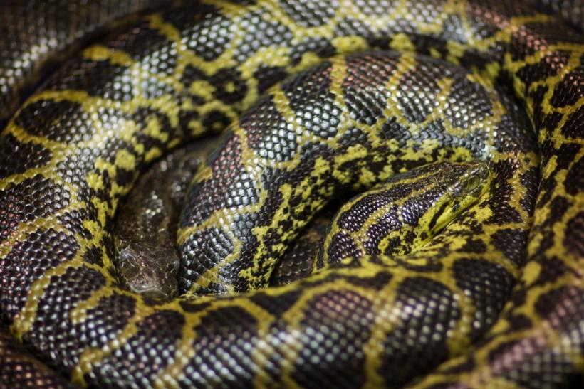 Yellow anaconda banned from Everglades