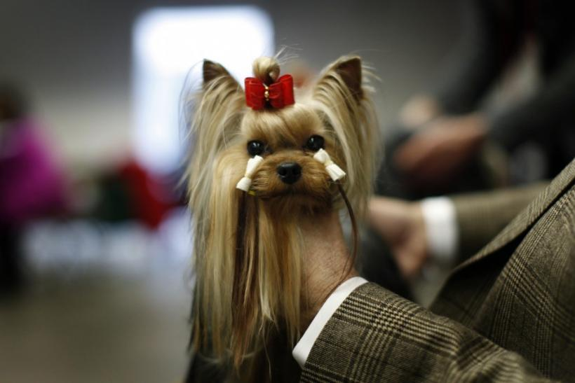 Yorkshire Terrier, Tommy