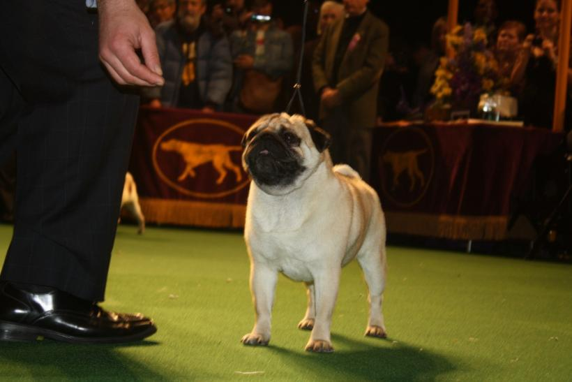 Westminster Dog Show Toy Group Pug