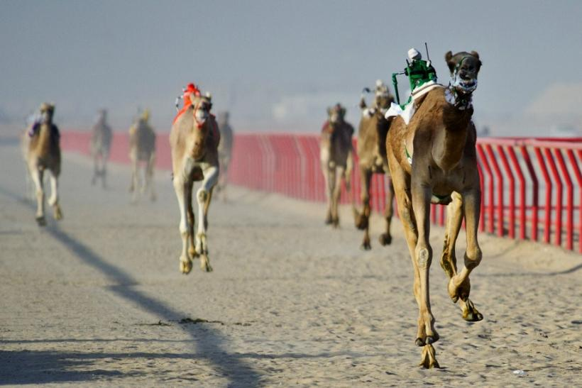 Robot Jockeys in Camel Race